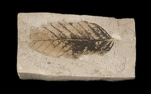Paleobotany - A leaf fossil of the European beech (Fagus sylvatica) from the late Pliocene of France, approximately 3 million years ago