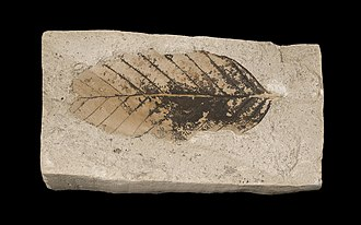 Paleobotany - A leaf fossil of the European beech (Fagus sylvatica) from the late Pliocene of France, approximately three million years ago