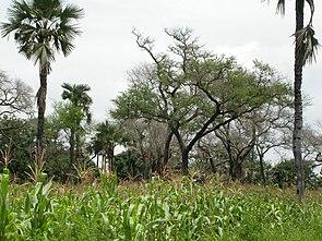 Faidherbia albida, mit Mais und Borassus akeassii