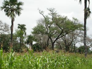Agroforestry - Parkland in Burkina Faso: sorghum grown under Faidherbia albida and Borassus akeassii near Banfora