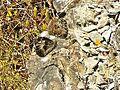 Farfalla (Crespino) 5.jpg