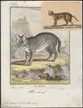 Felis serval - 1700-1880 - Print - Iconographia Zoologica - Special Collections University of Amsterdam - UBA01 IZ22100370.tif