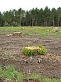 Felled beech wood near Stonor - geograph.org.uk - 886860.jpg