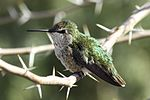 Female Costa's Hummingbird (Calypte costae).jpg