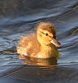 Female Mallard duckling.jpg