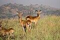 Female and male Ugandan kobs - Queen Elizabeth National Park, Uganda.jpg