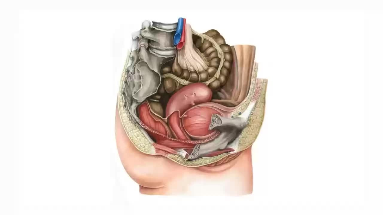 Filefemale Pelvic Viscera And Perineum Preview Human Anatomy