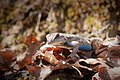 Fence Lizard (13170757493).jpg
