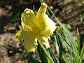 Fenceline Daylilies - 9277923586.jpg