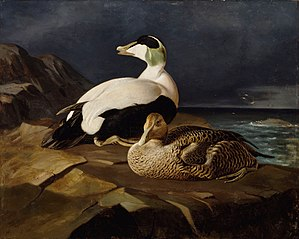 Pair of Common Eiders on a Rock