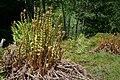 Ferns, Ardcastle Wood - geograph.org.uk - 454494.jpg