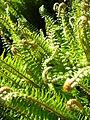 Ferns (3556306609).jpg
