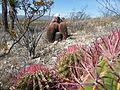 Ferocactus pilosus (5710026996).jpg
