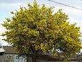 Ferrugende-Mimoseira em flor.JPG