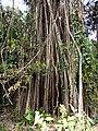 Ficus Beng.jpg