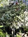 Ficus aspera - Balboa Park Botanical Building - DSC06785.JPG