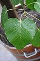Ficus religiosa 002.jpg