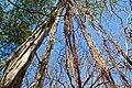 Ficus roots in Costa Rica.jpg
