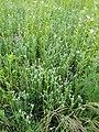 Filago vulgaris sl239.jpg