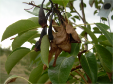 Fire blight (Erwinia amylovora) of pear.png