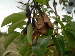 Fire blight - Fire blight on a pear tree caused by Erwinia amylovora