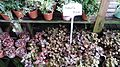 Fittonia albivenis cultivars 1.jpg