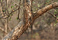 Flacourtia indica bark in Hyderabad W IMG 7484.jpg