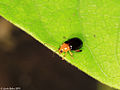 Flea beetle (Chrysomelidae Alticini) (5400663530).jpg