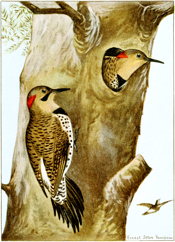 Flicker-Bird-Life-0059-116.png