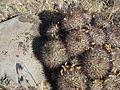 Flickr - brewbooks - Cluster of Pediocactus simpsonii (Football cactus) (1).jpg