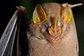 Flickr - ggallice - Bat (1).jpg