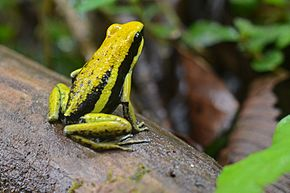 Description de l'image Flickr - ggallice - Pleasing poison frog.jpg.