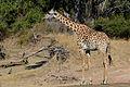 Flickr - ggallice - Thornicroft's giraffe (1).jpg