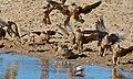 Flock of Burchell's Sandgrouse (Pterocles burchelli) (6472719255).jpg
