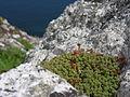 Flora of Lundy (11).jpg