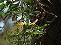 Flora of Tanzania 2457 Nevit.jpg