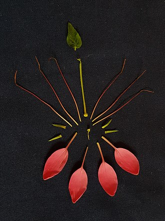 Cleomaceae - Floral diagram of Cleome hassleriana