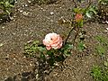 Floribunda - Cherish 014 (b).JPG