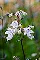 Flower, Penstemon Cordifolius - Flickr - nekonomania.jpg