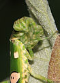Flower Mantis from W-Java - beeing observed (5269766723).jpg