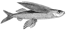 Flying Fish (PSF).png