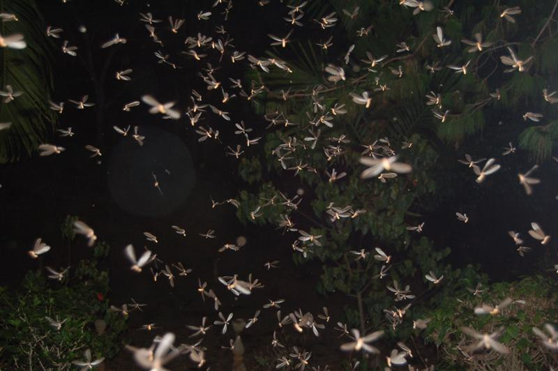Flying Termites after rain