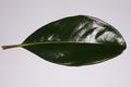 FogliaMagnoliaGrandiflora.png