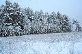Forest near Ob river in Altai Region 15.JPG