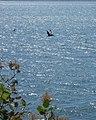 Fort Columbia Pelican.jpg