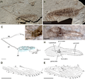 Fortiholcorpa paradoxa holotype.png