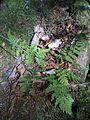 Fougère autruche ? (4438892131).jpg