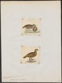 Francolinus bicalcaratus - 1700-1880 - Print - Iconographia Zoologica - Special Collections University of Amsterdam - UBA01 IZ17100027.tif