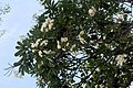 Frangipani tree with flowers outside Haw Par Villa (14793679142).jpg