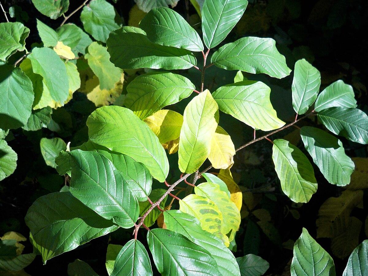 Magnesium Deficiency (plants) - Wikipedia